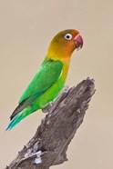 Fischer's Lovebird tropical bird, Ndutu, Tanzania