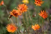 Orange Flowers, Kirstenbosch Gardens, South Africa