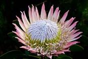 Flowers, Kirstenbosch Gardens, South Africa