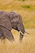 African Elephant Grazing, Maasai Mara, Kenya