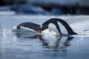Antarctica, Anvers Island, Gentoo Penguins diving into water.