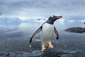 Antarctica, Cuverville Island, Gentoo Penguin leaping onto shore.