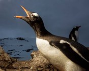 Antarctica, Cuverville Island, Portrait of Gentoo Penguin nesting.
