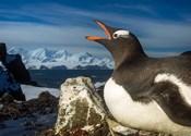 Antarctica, Livingstone Island, Flash portrait of Gentoo Penguin.