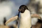 Adelie Penguin portrait, Antarctica