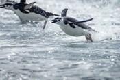 Antarctica, South Shetland Islands, Chinstrap Penguins swimming.