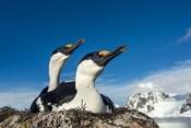 Blue-eyed Shags, Antarctica.