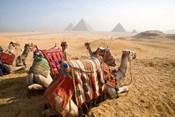 Egypt, Cairo, Camels, desert sands of Giza Pyramids