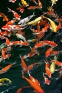 China, Hong Kong, Kowloon, Koi carp in Nan Lian Garden
