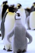 Emperor Penguin with Chick, Atka Bay, Weddell Sea, Antarctic Peninsula, Antarctica