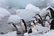 Chinstrap Penguins, South Orkney Islands, Antarctica