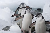 Four Chinstrap Penguins, Antarctica