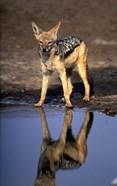 Botswana, Chobe NP, Black Backed Jackal wildlife