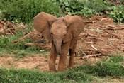 Baby Africa elephant, Samburu National Reserve, Kenya