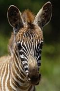 Baby Burchell's Zebra, Lake Nakuru National Park, Kenya