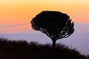 Candelabra Tree, sunrise, Ngorongoro Crater, Tanzania