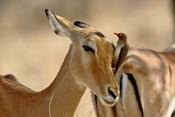 Female Impala with Red-billed Oxpecker, Samburu Game Reserve, Kenya