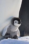 Baby Emperor Penguin, Snow Hill Island, Antarctica