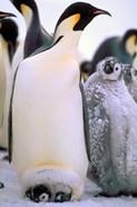 Emperor Penguins, Antarctic Peninsula, Antarctica