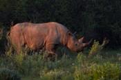 Black rhinoceros Diceros bicornis, Etosha NP, Namibia, Africa.
