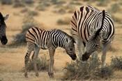 Burchell's zebra foal and mother, Etosha National Park, Namibia