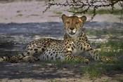 Cheetah,Acinonyx jubatus, Nxai Pan NP, Botswana, Africa