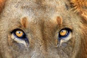 Close-up of Male Lion, Kruger National Park, South Africa.