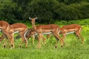Herd of Impala, by Chobe River, Chobe NP, Kasane, Botswana, Africa