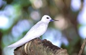 Fairy Tern, Aride Island, Seychelles, Africa