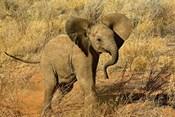 Baby African Elephant, Samburu Game Reserve, Kenya