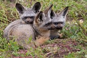 Bat-eared foxes, Serengeti National Park, Tanzania