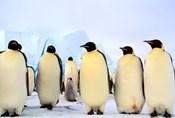 Emperor Penguins, Atka Bay, Weddell Sea, Antarctica