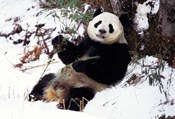 Giant Panda With Bamboo, Wolong Nature Reserve, Sichuan Province, China