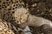 Cheetah cub, Acinonyx jubatus, Masai Mara, Kenya