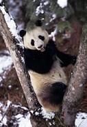 China, Giant Panda Bear, Wolong Nature Reserve