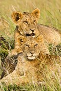 Group of lion cubs, Panthera leo, Masai Mara, Kenya