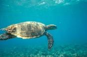 Hawksbill Turtle, Mayotte Island, Comoros, Africa