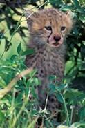 Cheetah Cub, Masai Mara Game Reserve, Kenya