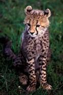 Africa, Kenya, Masai Mara Game Reserve. Cheetah Cub