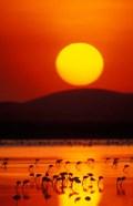 Flock of Lesser Flamingos Reflected in Water at Sunrise, Amboseli National Park, Kenya