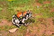 Africa, Madagascar, Isalo. Terrible frog