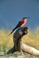 Botswana, Chobe NP, Carmine Bee Eater bird, Chobe River