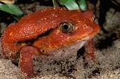 Africa, Madagascar. Tomato frog (Dyscophus antongili)