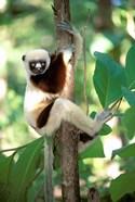 Coquerel's Sifaka, Western Dry Forest, Madagascar