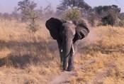 Elephant, Okavango Delta, Botswana