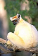 Africa, Madagascar, Daraina. Golden-crowned Sifaka