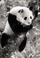 China, Sichuan, Giant Panda Bear, Wolong Reserve
