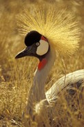 African Crowned Crane, South Africa