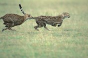 Cheetah Cub Playing on Savanna, Masai Mara Game Reserve, Kenya