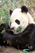 China, Wolong Nature Reserve, Giant panda bear